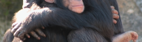 Adult and young chimp hugging